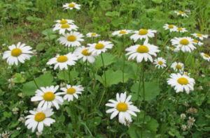 Pyrethrum Extract Pyrethrins 48~52% pictures & photos