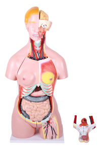Medical Demonstration Amphoteric Human Torso Abdomen Anatomy Model pictures & photos