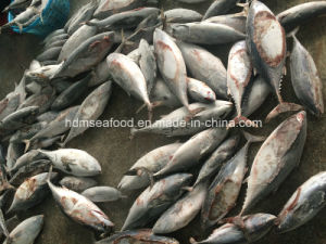 Chinese Big Frozen Bonito Size pictures & photos