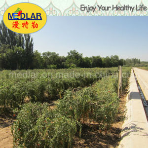 Medlar Lbp GMP Manufacture Sample Free Organic Wolfberry