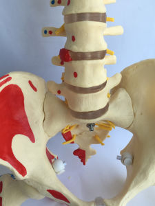 Teaching Human Labeled Spine Skeleton Bones Medical Model (R020712) pictures & photos
