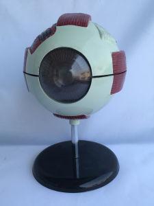 6 Times Enlarged Human Eyeball Medical Anatomy Model