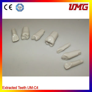 Dental Model Permanent Teeth Withstraight Roots pictures & photos