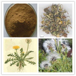 Dandelion Extract Powder, Ratio 10: 1 20: 1