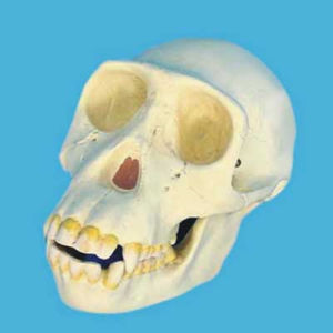Chimpanzee Human Skull Head Skeleton Model for Medical Teaching pictures & photos
