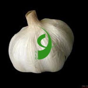 2013 Snow White Garlic