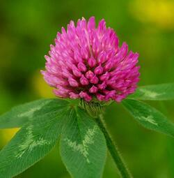 Red Clover Extract, Pratense, Biochanin, Formononetin, Daidzein Genistein pictures & photos