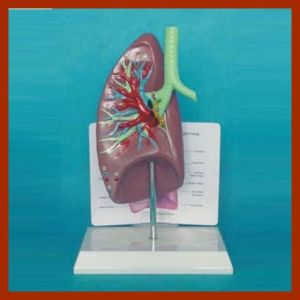 R090208 Wholesale Human Lung Anatomical Model pictures & photos