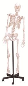 Asia Type Flexible Skeleton Anatomical Teaching Model pictures & photos