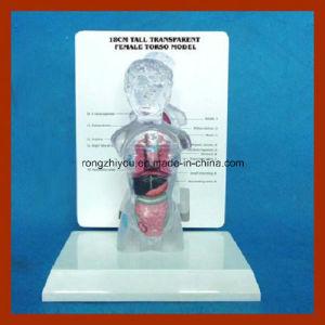 18cm Tall (15 parts) Transparent Female Torso Human Anatomical Model pictures & photos