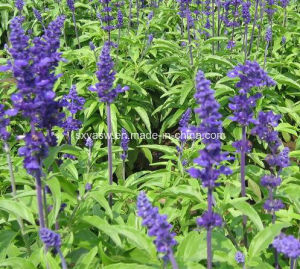 Natural 10: 1 Clary Sage / Salvia Officinalis Extract pictures & photos