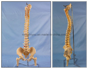 Best Seller Human Spine Skeleton Anatomy Model for Education pictures & photos