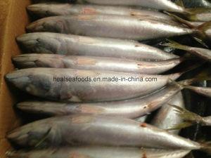 4-6PCS/Kg Frozen Mackerel Scomber Japonicus pictures & photos