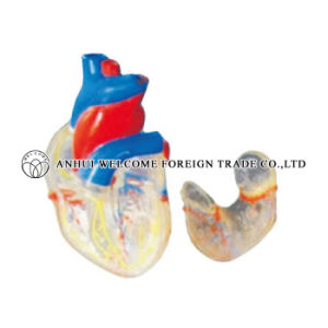 The Model of a Transparent Natural Heart 2 Parts pictures & photos
