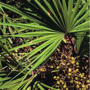 100% Pure Nature / High Quality Saw Palmetto Oil85%-95% Saw Palmetto Extract/Men′s Heath pictures & photos