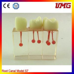 Import Resin Teeth Root Canal Model pictures & photos