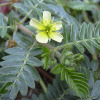Tribulus Terrestris Fruit Extract (KSNO09)