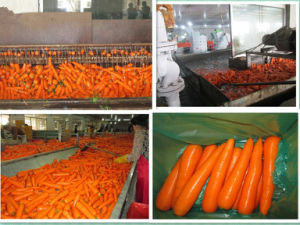 2015 China Fresh Carrot with SGS Certification