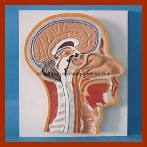 Human Median Section of Head Anatomical Model pictures & photos