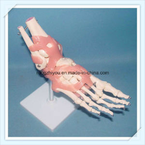 Vivid Human Foot Joint Skeleton Model with Ligaments pictures & photos
