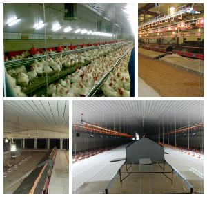 Auto Poultry Shed for Chicken/ Hens/Broiler/Breeder pictures & photos