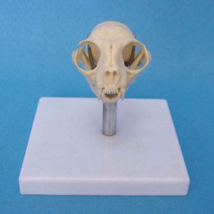 Teaching Demonstration Cat Skull Skeleton Model (R190119)