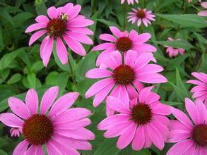 Top Quality with Low Price Echinacea Purpurea Extract 4% CAS No: 70831-56-0