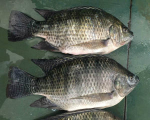 Chinese Farming Tilapia From China Tilapia Farm pictures & photos