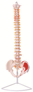 Plastic Flexible Vertebral Column Model with Muscle Insertions pictures & photos