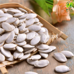 Most Popular and Hot Sale Snow White Pumpkin Seeds 11cm/12cm