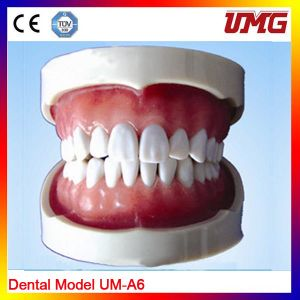 Good Quality Nursing Training Dental Model Teeth Model pictures & photos