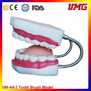 High Quality Kids Study Brush Model Oral Teaching Model pictures & photos