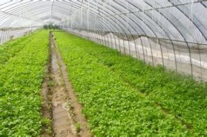 RS--Pullplastc with SGS Certificate for Greenhouse (flowers) pictures & photos