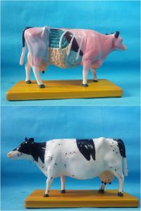 Accupuncture Cow Model for Study pictures & photos