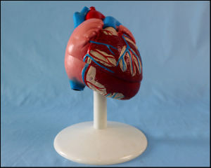 Life-Size Heart Model 2-Part Anatomical Display Model pictures & photos