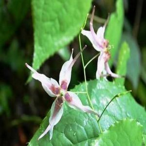 Epimedium Extract (Sex Improvement)