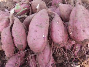 Swweet Potato 18