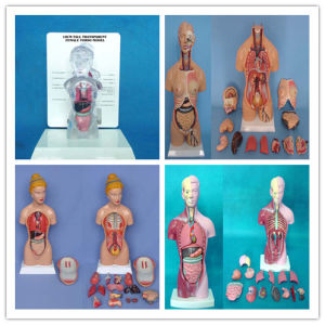 85cm Unisex Torso Anatomical Model 38 Parts for Medical Supply pictures & photos