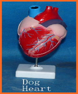 Dog Heart Model, Animal Anatomical Models for Veterinarian′s Reference pictures & photos