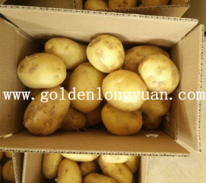 Fresh Holland Potato pictures & photos