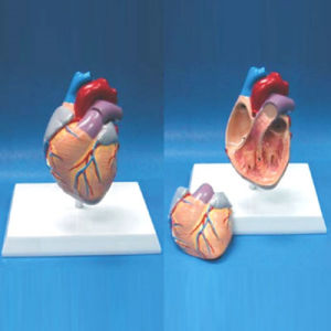 High Quality Medical Teaching Human Heart Anatomic Model (R120106) pictures & photos