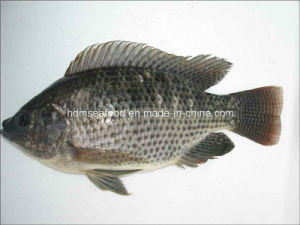 New Catching Frozen Tilapia pictures & photos