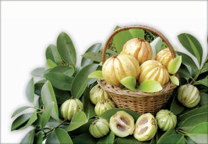 Garcinia Cambogia Extract / Hca pictures & photos