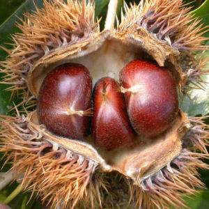 Export 60-80PCS/Kg New Crop Chestnut pictures & photos
