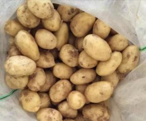 2016 Shandong Province Winter Crop Fresh Potato pictures & photos