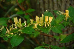 Honey Suckle Flower Extract
