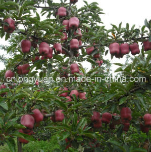 Good Quality for Sale Fresh Red Apple pictures & photos