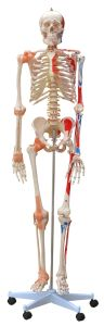 Human Skeleton with Painted Muscle and Ligament pictures & photos