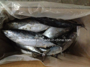 Big Size New Catching Bonito Fish for Market pictures & photos