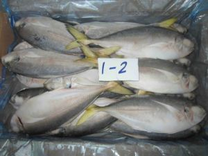 Frozen Horse Mackerel with Yellow Tail pictures & photos